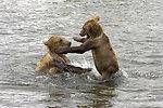 Kodiak Brown Bears
