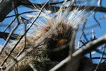 Bad Hair Day?  Porcupine (Erethizon dorsatum)