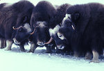 Muskox In Alaska (1978)