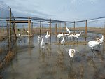 Whooping Crane Reintroduction Pen
