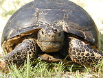 Adult gopher tortoise