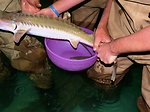 Spawning a Pallid Sturgeon