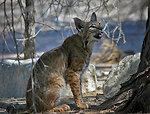Bobcat at Sonny Bono NWR-3