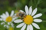 bee on daisy