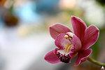 Cymbidium Orchid at the U.S. Botanic Garden