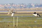 Northern pintails soar over Pond 10