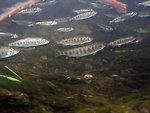 Chinook Salmon (Oncorhynchus (=salmo) tshawytscha)