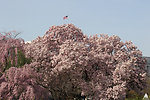 Magnolia Blooms on Capitol Grounds