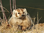 Badger on Seedskadee National Wildlife Refuge 02