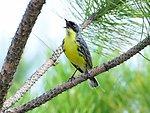 Endangered Kirtland Warbler