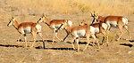 Pronghorns on Seedskadee NWR 1