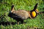 Attwater's prairie chicken