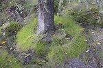 Strange fern configuration around base of white spruce tree.