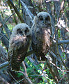 Fledgling Northern Spotted Owls
