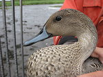 Adult Male Pintail