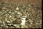 A Snowy Plover (Charadrius alexandrinus vivosus) sitting on pebbles.