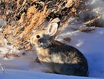 Pygmy Rabbit (Sylvilagus idahoensis) on Seedskadee NWR 01