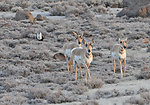 Antelope & Greater Sage-Grouse