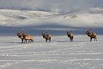 Bull Gathering