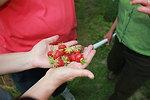 Pollinated Strawberries in Hadley, Massachusetts