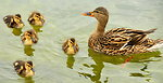 Mallard Hen and Her Brood 5