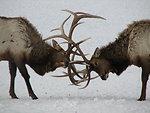 Two Bulls Clash Antlers