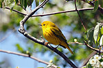 Photo of the Week - Yellow warbler at Trustom Pond Refuge (RI)