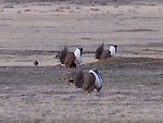 Greater Sage-grouse, Bowdoin WMD