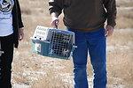 Black-footed Ferret Release