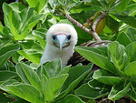 Booby bird nestled in the bushes