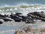 Seals on South Monomoy Island