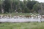 Flock of Egrets in the Marsh