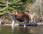 Photo of the Week - Moose (RI)