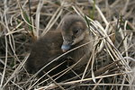Spectacled eider duckling