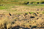Sage-grouse Hen and Brood on Seedskadee NWR