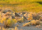 Sage-grouse Hen and her Brood on Seedskadee NWR