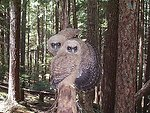 Threat display - Spotted Owls