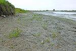 Salt Pond Restoration Project natural plant recruits!
