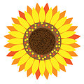Sunflower floral clipart