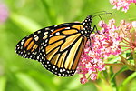 Monarch feeding on Swamp Milkweed Sand Lake NWR