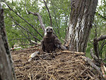 Bald eagle in nest, May 2013 Photo By USFWS Jeremy N. Moore