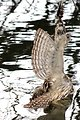 Barred Owl with Fishing Line