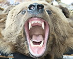 Grizzly Bear Head