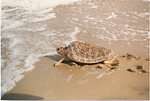 Female loggerhead sea turtle