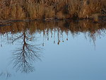 Reflections in  a Wetland