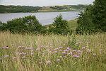 Field of Wild Bergamots