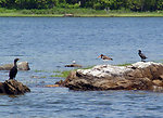 Photo of the Week - Cormorants, Tern and Oystercatcher (RI)