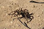 Tarantula in the Carrizo Plain