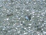 Western Snowy Plover female on eggs in nest
