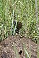 Dung Beetles on War Horse NWR